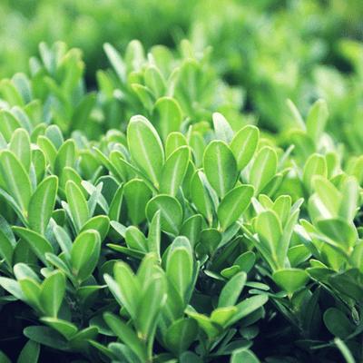 Malattie siepi da giardino